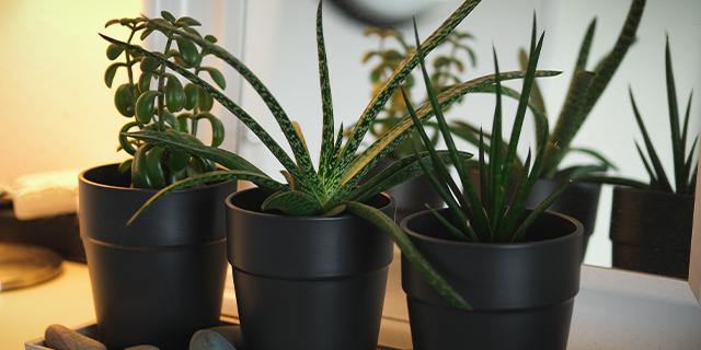 asiatische zimmerpflanzen aloe vera